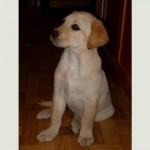 Cluny as a puppy